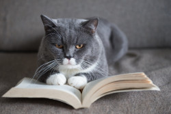 The gray cat is reading a book